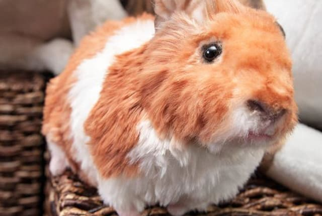 Custom Cuddle Plush - American Guinea Pig
